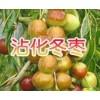 沾化特产——冬枣大量的供应