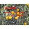 东江湖蜜橘供应