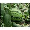 生产供应优质无公害西瓜、黄金瓜