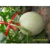 供应网纹甜瓜(口感好,国内最少,最有市场潜力的品种)