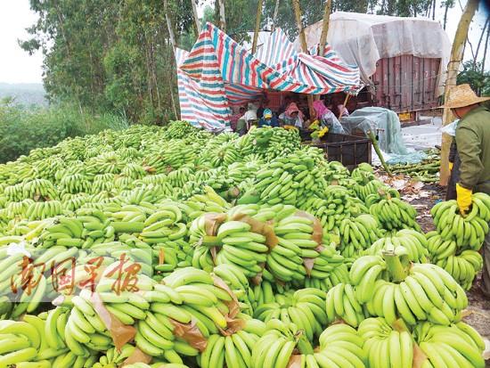 """坛洛""""蕉急""""事件 西乡塘武鸣隆安的香蕉销售受影响"""