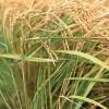 华夏神威供应优质的农作物种植开发  _优惠的农作物