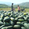 云南有大量西瓜正在上市。