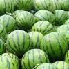 成熟8424西瓜大量批发 帮采摘 可留叶