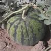 新疆吐鲁番,即将上市,大量供应低价优质西瓜,