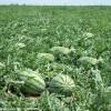 白泥井西瓜将于七月下旬大量上市,欢迎全国客商前来采购