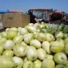 内蒙古巴彦淖尔市乌拉特前期黑柳子甜瓜香瓜西瓜