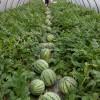 湖南宁乡西瓜优质品种现已大量上市请认准彭生种植