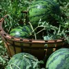湖北五三农场西瓜大量上市啦,产地直销,机会啊