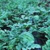 湖北省天门市农场30000亩西瓜即将园