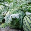 产地西瓜大量批发3毛斤直接采摘