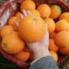 秭归九月红脐橙  纽荷尔脐橙 产地一手货源