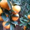 蜜桔,塔罗科血橙,青见,春见(耙耙柑),不知火(丑八怪),椪柑