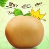 河南新乡深秋成熟的黄梨:晚秋黄梨/黄金梨,欢迎合作