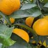 爱媛38号果冻橙
