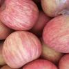山东红富士苹果种植基地,今日红富士苹果市场价格