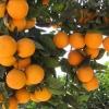 冰糖橙,碰柑,血橙!