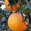 湖北秭归脐橙代办湖北脐橙代办电话湖北脐橙产地