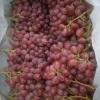 红玉,蓝宝石,阳光玫瑰,早夏黑,丛林玫瑰,藤稔等几十个早中晚熟的葡萄苗木品种,欢迎各种种植户来电咨询。