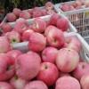 山东优质红富士苹果大量供应,货源充足保证质量