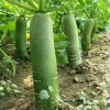 潍县萝卜产地