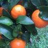 砂糖橘代办