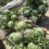 南汇8424西瓜玉菇60亩瓜地欢迎订购