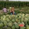 山西西瓜价格忻州明地瓜价格西瓜种植基地