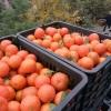 年前砂糖桔大量直供果园园主源头