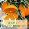 湖北宜昌脐橙销售/脐橙批发/纽荷尔脐橙