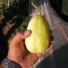 出售辽宁凌海金妃香瓜:口感甘甜、香脆可口、瓜大、个头均匀、瓜行正