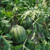 大棚西瓜满足各种品种