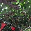 翠玉猕猴桃