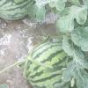 西瓜辣椒蔬菜