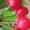 天水大樱桃