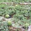 8424,利园,晨龙,三种品种西瓜