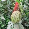 红玉小西瓜 包熟 保甜