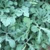 浙江人种的西瓜,(8424)大棚麒麟西瓜,西瓜又大又圆又甜又脆,品质保证。