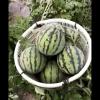 超甜金星西瓜非常的好,价格面议。量大优惠