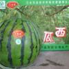 甜王西瓜、京欣西瓜、自家种植、诚意出售