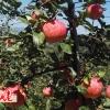 蜜脆苹果 基地直供