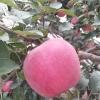 富士苹果15084059699