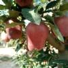 甘肃苹果,花牛苹果