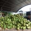 海南椰青椰子