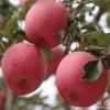 苹苹回首精品苹果批发 基地直供