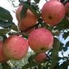 美国八号苹果