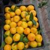 柑桔,柑桔特早大量上市