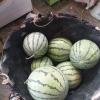 大棚西瓜,好吃又大个