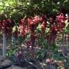 蜜儿脆葡萄