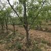 山西枣树占地4-15公分枣树
